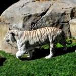 Rare white tiger. Cango Wildlife Ranch. 5km from Best Little Guest House