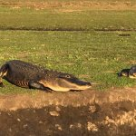 Alligators are everywhere!