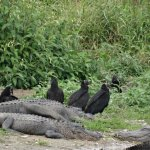 A few of the many gators.