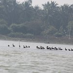 Sibarian cranes