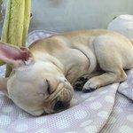 Kawaii French Bulldog @ lalaport Osaka Expocity