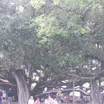 Really old banyan tree