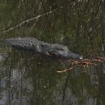 Photo of Airboat In Everglades