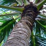 Gigantic palm tree.