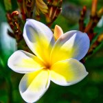 Plumeria blossoms have the most intoxicating aroma.
