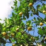 Telesilla lemon trees