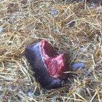 Tasmanian Devil food