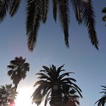 A view from the sunlounger of giant palms in the rear garden of the Plantation B & B, Lemon Cove