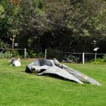A whale skeleton in the garden of the museum