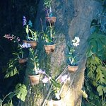 Blooming Orchids on the Tree Trunk added to the beauty of the garden