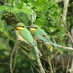 Little Bee-eaters, seen on drive through park