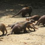 Banded Mongoose, close to the vehicle