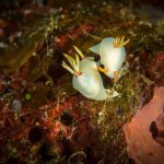 Macro photography options - nudibranch