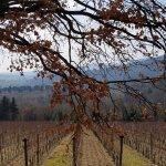 Lorenzo's vineyard