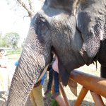 Beautiful elephant with whom you can pose and take photos.