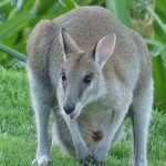 One of the many Wallabies