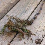 Invalid iguana