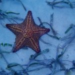 Star fish at the reef