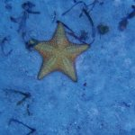 another starfish at the reef