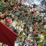 What a camellia tree!