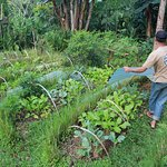 Tending the organic gardens - removing the rain-covers