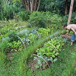 Tending the organic gardens