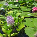 Water lilies in the Biodome.