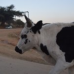 Africa's cows to touch