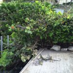 Lots of Iguanas In front of hotel (check out the bushes!)