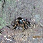 An Orange-Kneed Tarantula