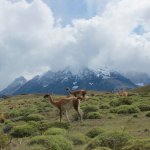 Guanacos on Patagon hike