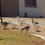 Not forgeting the guard geese