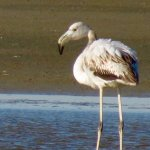 Juvenile flamingo, yet to acquire the art of pinkness