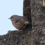 Alpine Accentor in the beautiful medieval village of Les Baux-de-Provence