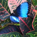 Blue morpho butterfly by the pool