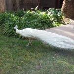 pavo real albino