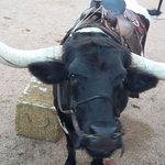 "This adorable longhorn is named ""Rib-eye"" #Aww....."
