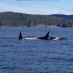 Orcas6