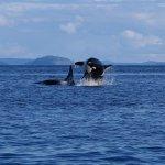 Orcas7