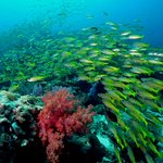 Big school of yellow snappers on Phi Phi Islands