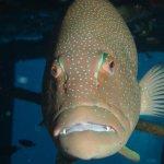 Grumpy fish, inside Sattakut wreck.