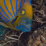 One of the many, beautiful Blur ringed Angelfish to be found in Koh Tao.
