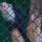 A white-fronted capuchin looks out.