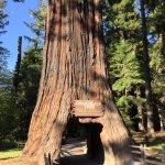Chandelier Tree, Leggett, CA