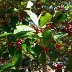 Holly everywhere