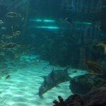 saw bill shark