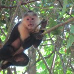 One of the many capuchin monkeys spotted on hike at San Josecito beach