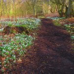 paths lined with snowdrops