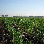 A beautiful sweet corn field. What a pretty sight.