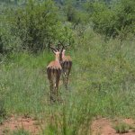 These two antelopes were not in the mood!